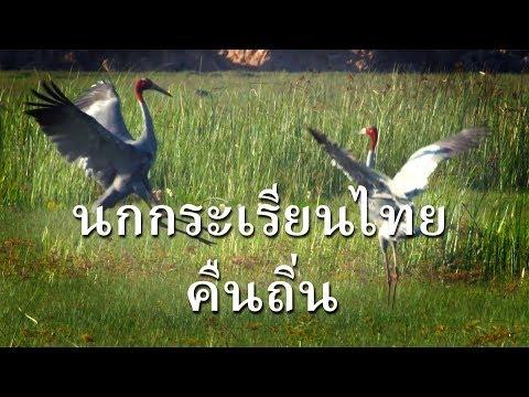 นกกระเรียนไทย คืนถิ่นที่บุรีรัมย์