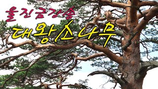 울진/ 금강소나무숲길/4구간트레킹/ 600년/ 대왕소나…