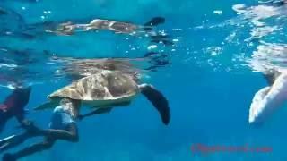 Симиланы подводный мир. Черепаха(Подводный мир на Симиланах. Огромная черепаха! Полезная информация про Симиланские острова тут: http://olgatravel.co..., 2016-10-09T21:16:58.000Z)