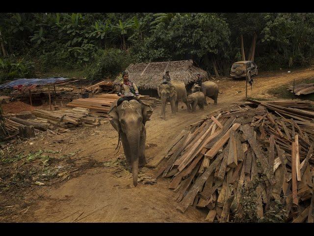 失業的緬甸大象