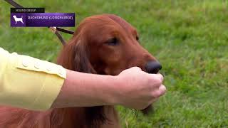 Dachshunds (Longhaired) | Breed Judging 2021