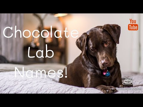 Chocolate Lab Names!!! | Adorable Names For Labs!