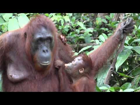 Mother and baby orangutan show their love
