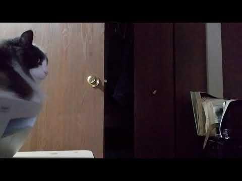 Cat hissing at Dog