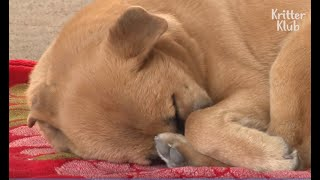 Download Sleep-Deprived Dog Has A Nightmare Every Night | Animal in Crisis EP46 Mp3 and Videos