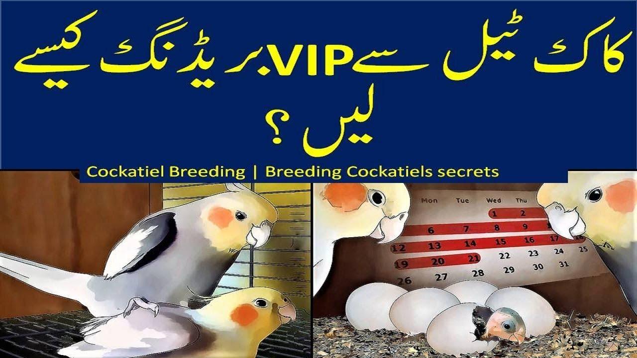 Cockatiel Breeding | Breeding Cockatiels Secrets