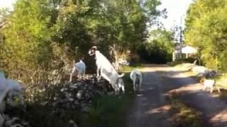 Cabra-Oveja-Consultant-Chèvres Boers Burenziegen Cabras Boer Goats, Chèvres AngloNubienne Dorper