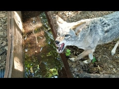 Coyote Named Scooter - 132 - Dry Ice