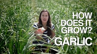 How Does it Grow? Garlic
