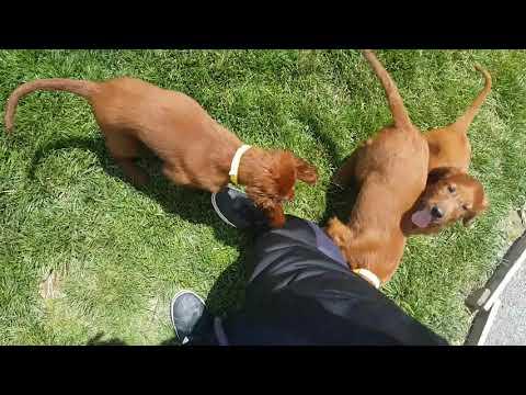 PuppyFinder.com : Irish Setter