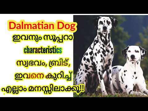 Dalmatian Dog characteristics (Malayalam) know everything about dalmatian dogs, /origin of the breed
