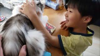 温厚白モフ猫は6歳児にいじくり回されても全然気にしない