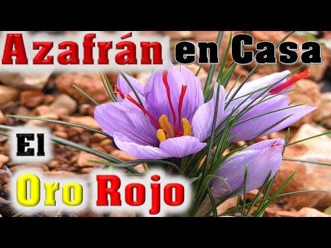 sembrar oro rojo en casa azafrÁn/el ratillo de juan valentín - youtube