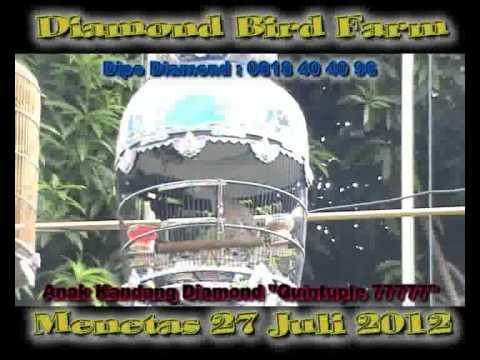 Download Suara Burung Perkutut Lokal Manggung Mp3