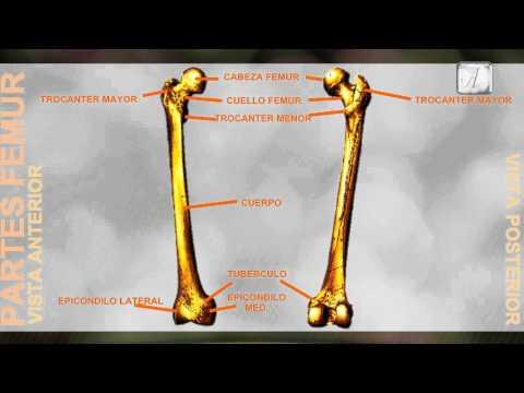 Partes del Femur - Anatomia