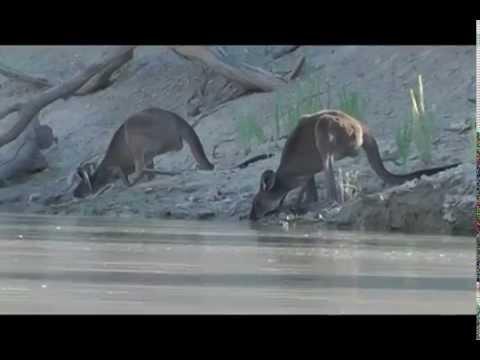 Kangaroo's Drinking on the Darling River at Menindee