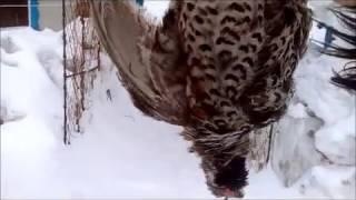 Кто сказал, что шарпей не охотничья собака?