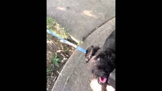 Shyla Rescue Schnauzer First Day Out Of Pound!