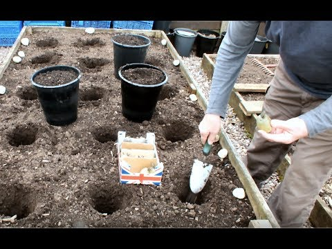 Growing potatoes in a raised bed, early precautions. Grow Vegetables at home.