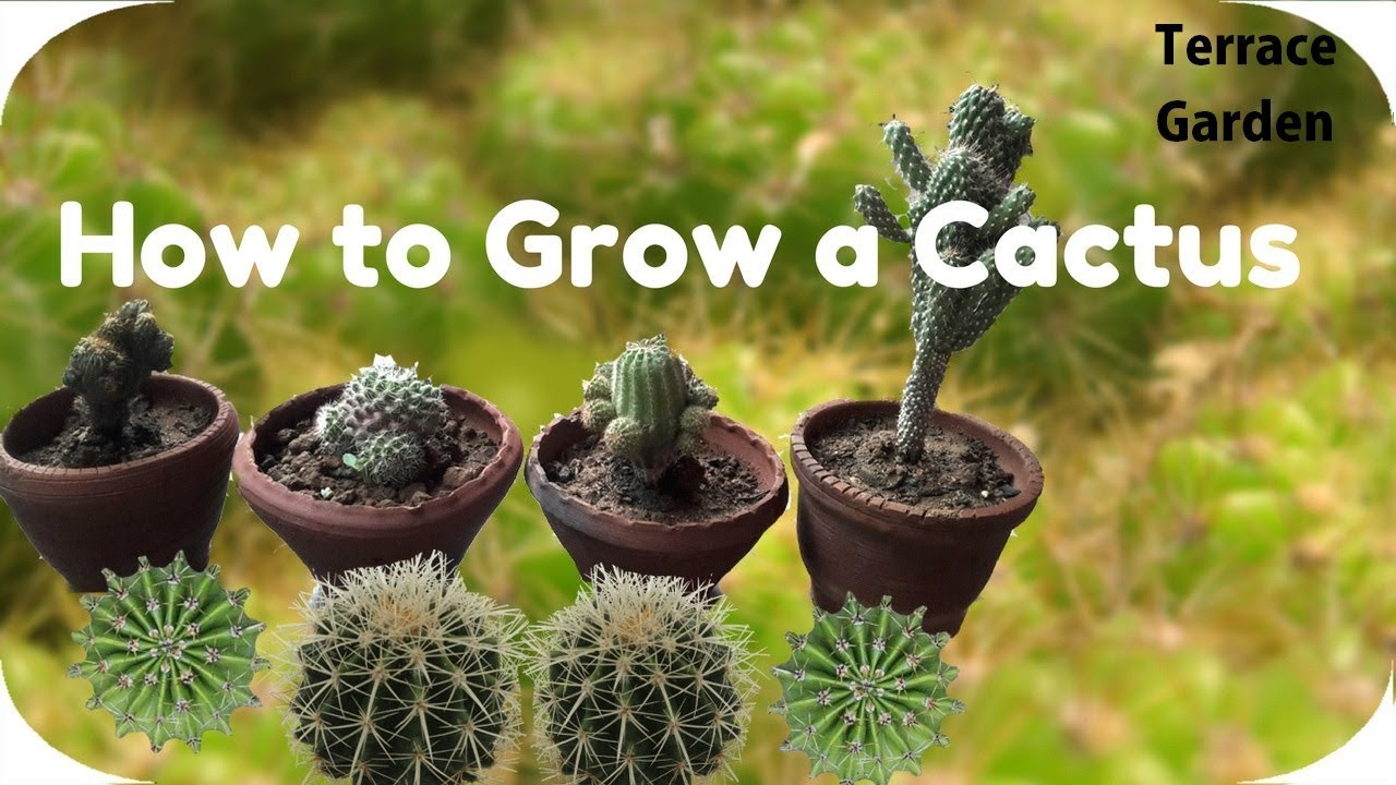 How to Grow a Cactus pictures