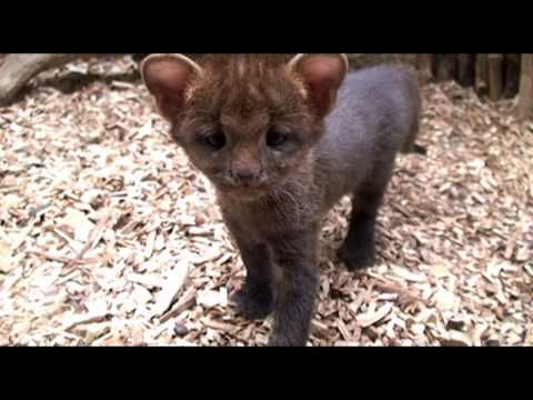Thumbnail for Cat Video Jaguarundi Kittens at the Prague Zoo