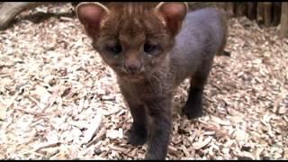 Jaguarundi kittens I. Котята ягуарунди.
