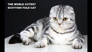 The World Cutest (Scottish Fold Cat) Videos