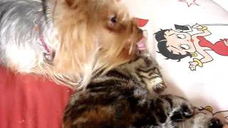 Dog Licking Cats Ears Mini Yorkshire Terrier Cat Dog Funny Cute Video