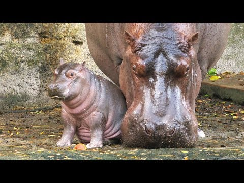 New baby hippopotamus gender and name revealed on Kilimajaro Safaris at Walt Disney World