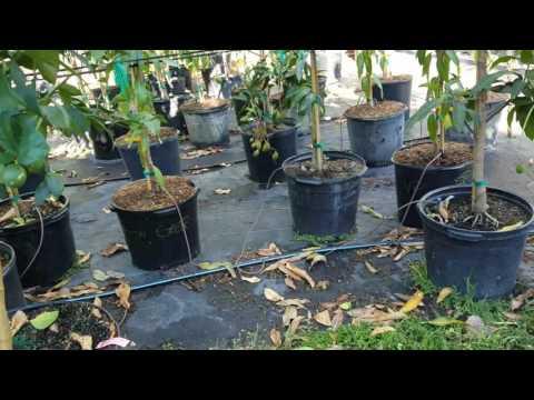 Tropical Fruit Farm, FruitScapes Nursery.