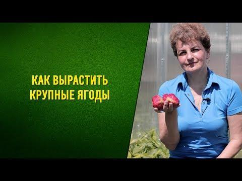 Как вырастить крупные ягоды садовой клубники. Размножение усами
