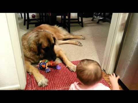 Baby vs. Leonberger