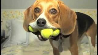 Beagle Dog - Jill With 4 Balls - Wow!!!  On Animal Planet Too!!