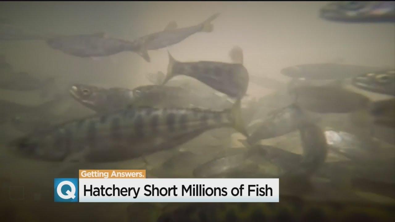 Largest Fish Hatchery On Sacramento River Faces Severe Salmon Shortage