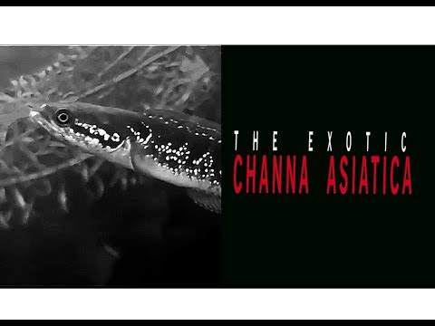 Channa Asiatica Chinese Snakehead Juvenile Size