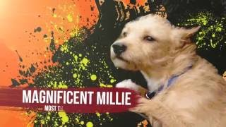 Cute Dogs | Cute Puppies | Goldy lockS Band | Let