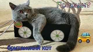 АВТО для БРИТАНСКОГО КОТА. КОТ любит кататься 😹/ British cat Harry