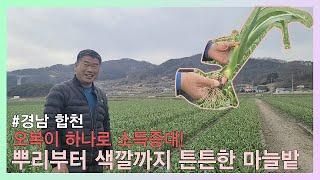 #합천마늘 1회 시비로만으로 달라진 잎과뿌리!!! 지금…