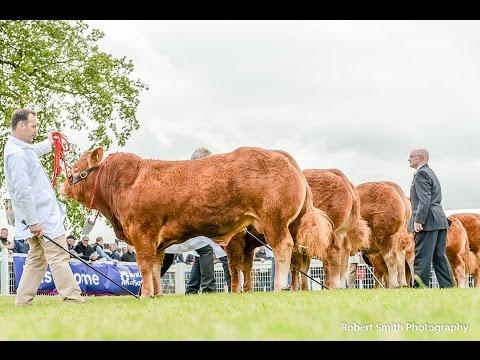 Limousin Judging @Royal Highland Show 2015