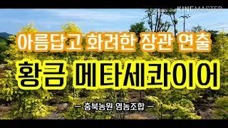 황금메타세콰이어 아름답고 화려한 나무!관광지 조성 추천…