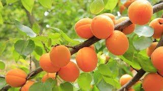 Выращивание абрикосов как бизнес