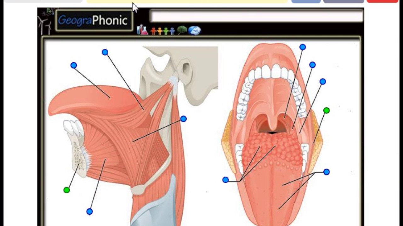 Tongue Muscles, Genioglossus, Hyoglossus, Valate papilla, Palatine ...