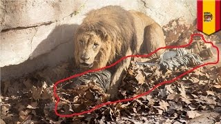 Neo-Nazi police chief, kusang tumalon sa lion enclosure sa Barcelona Zoo!