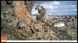 Пятнистое пополнение: в фотоловушке самка снежного барса с котятами