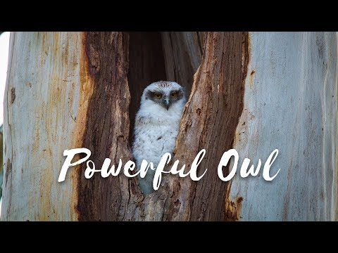 Download Back from the Brink - Season 1 Episode 5 - Powerful Owl