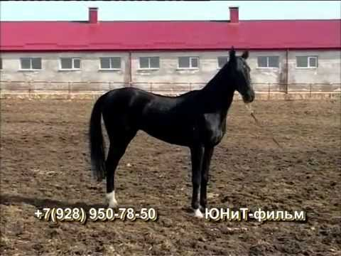 Лошади Ахалтекинской породы