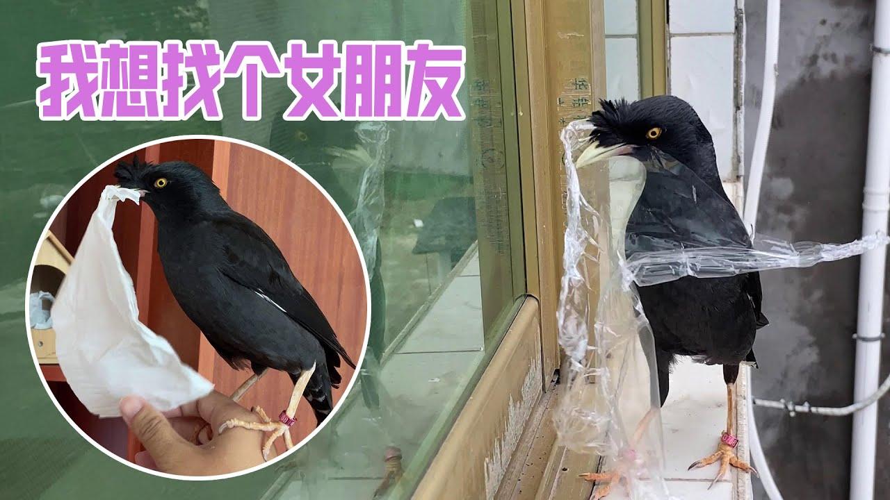 八哥找女友丨繁殖期的鸟真可怕,你永远不知道下一次它把什么带回家丨天下一场梦