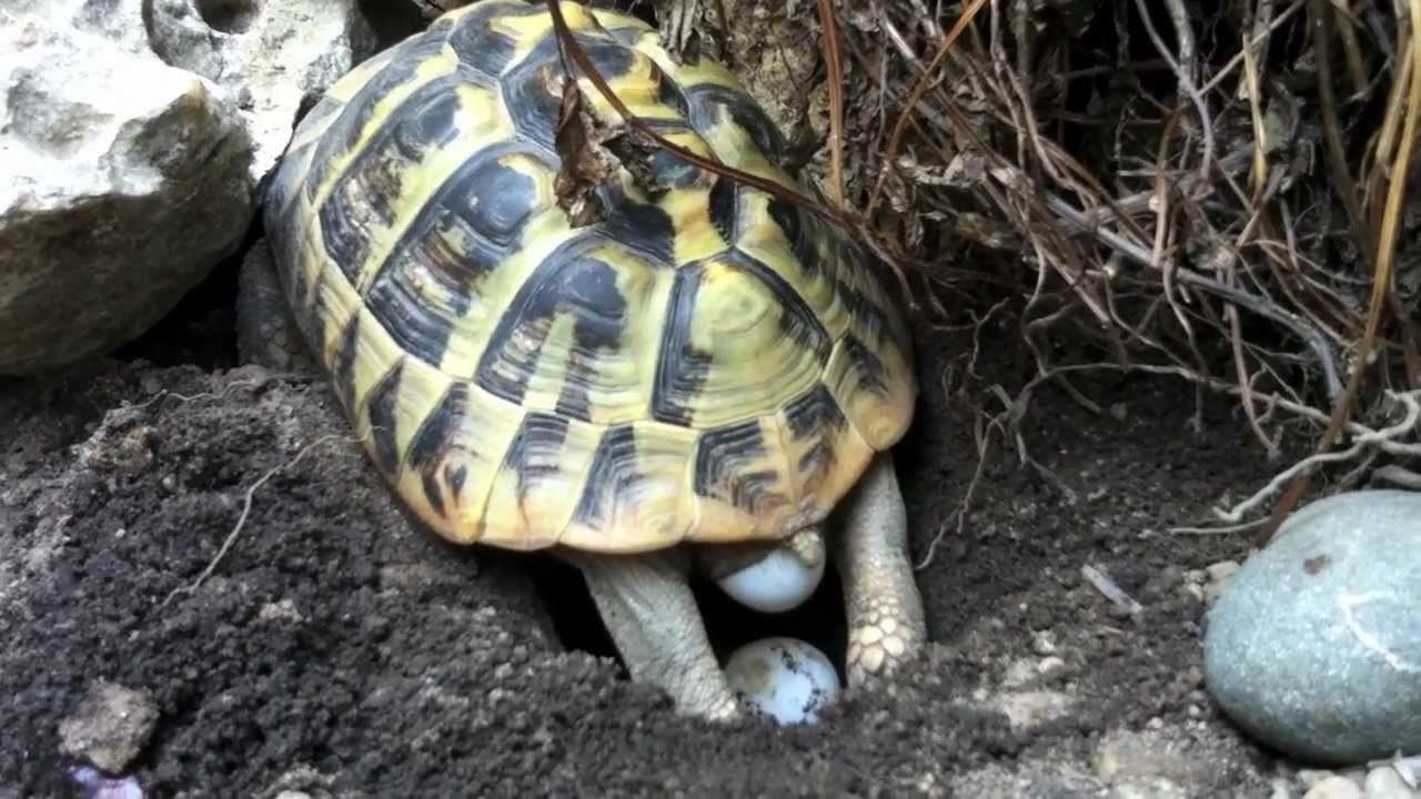 deposizione tartarughe di terra testudo hermanni youtube