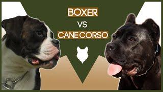 BOXER VS CANE CORSO