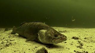 Реакція риби на Підводника без Гарпуна. Підводний Відео Полювання 2018